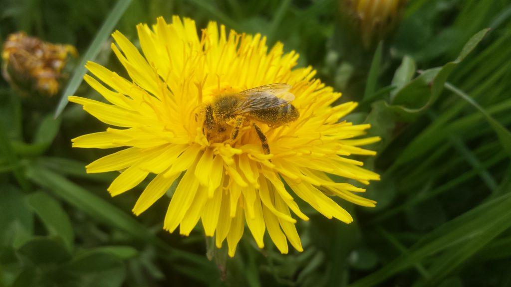 Biene mit Löwenzahn, © Elisabeth Pfeifhofer