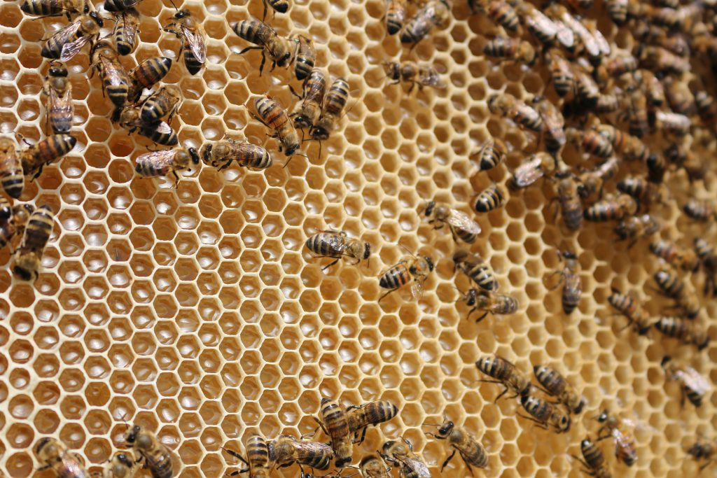Bienen mit Honig im Stock - Ravilbaptist, pixabay