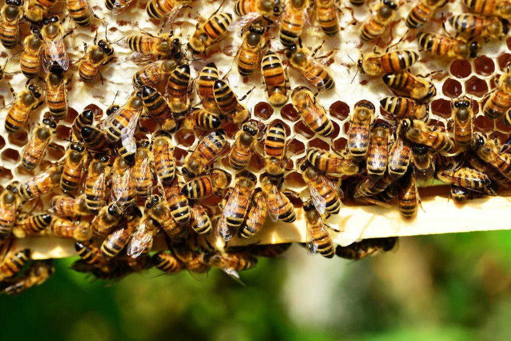 Bienen mit verdeckelten Honig - PollyDot, pixabay