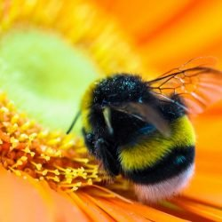 Hummel auf Blume - Pixabay, TBIT