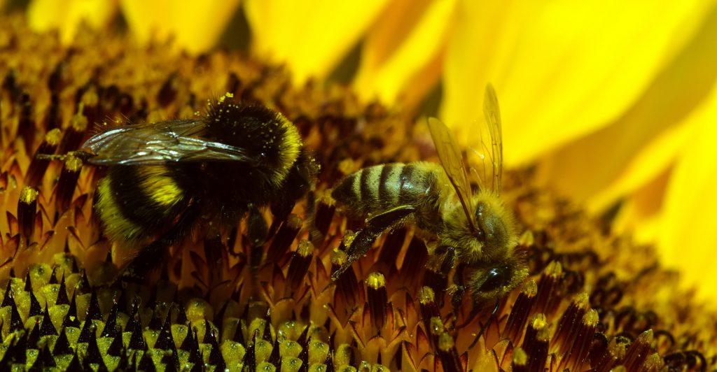 Hummel und Biene - Pixabay, ulleo