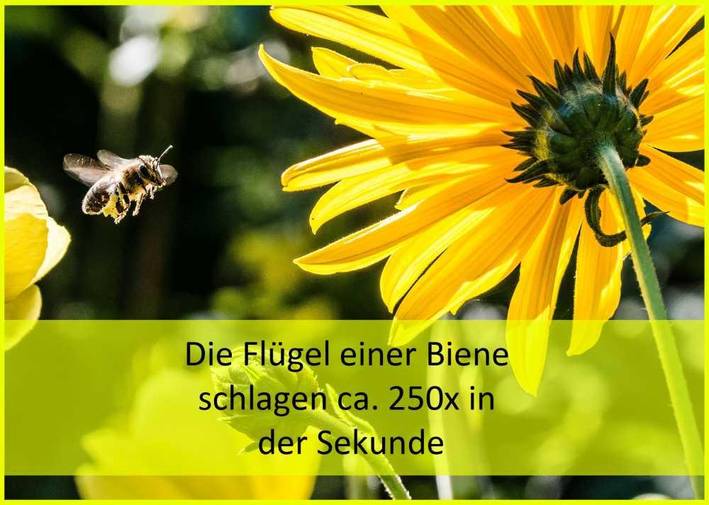 Flügelschlag einer Biene, Pixabay_Christian Birkholz_