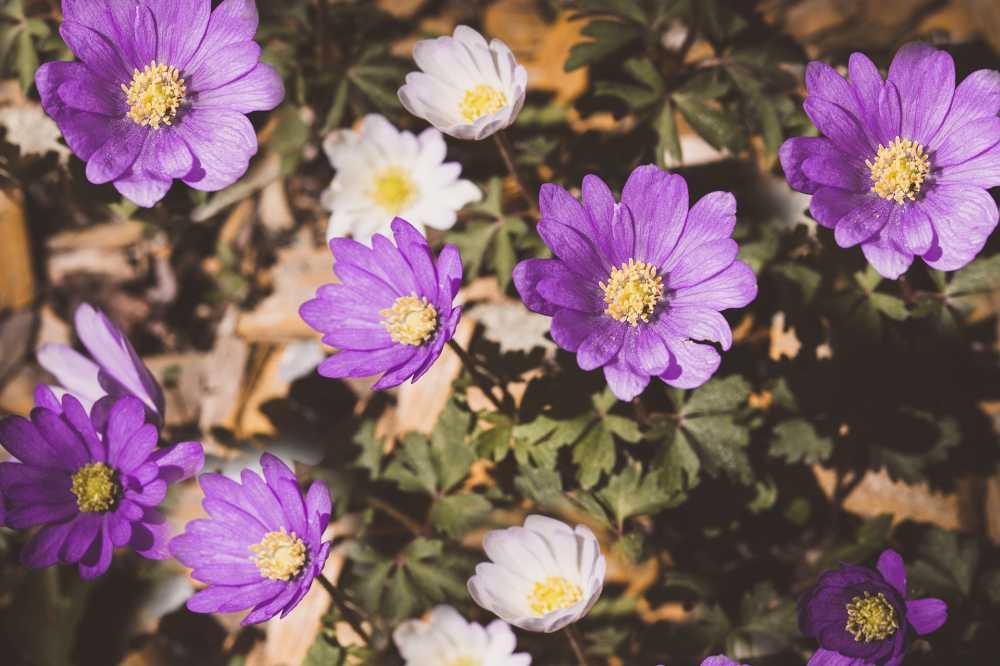 Anemone-Windröschen, pixabay, Pezibear