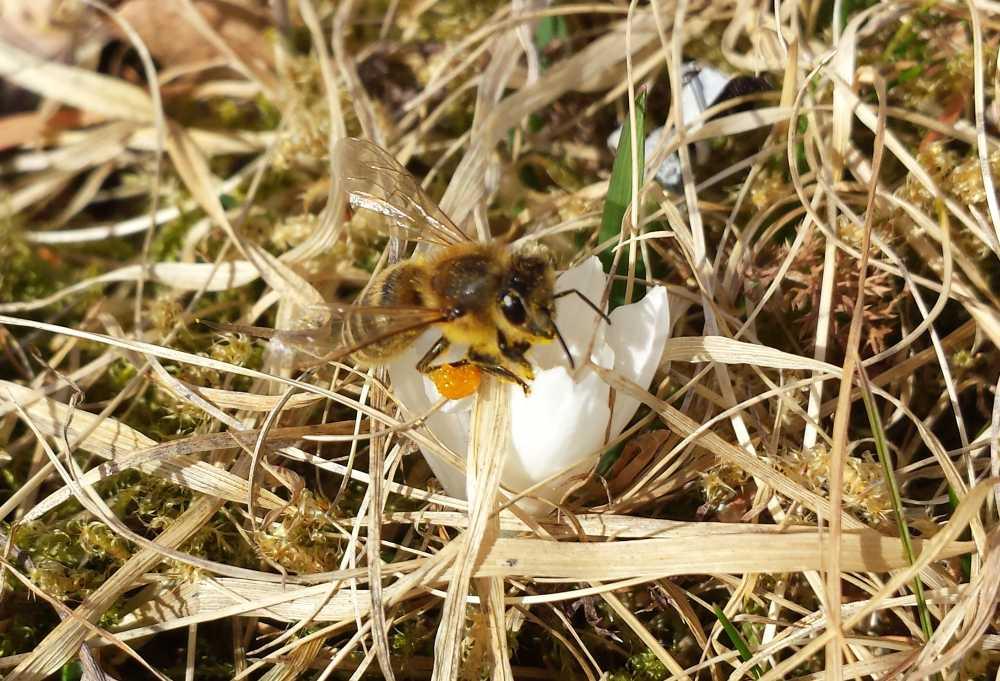Biene auf Krokus, © Elisabeth Pfeifhofer