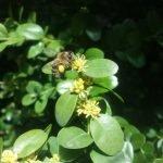 Buchsbaum mit Biene, © Elisabeth Pfeifhofer