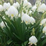 Frühlingsknotenblumen, © Elisabeth Pfeifhofer