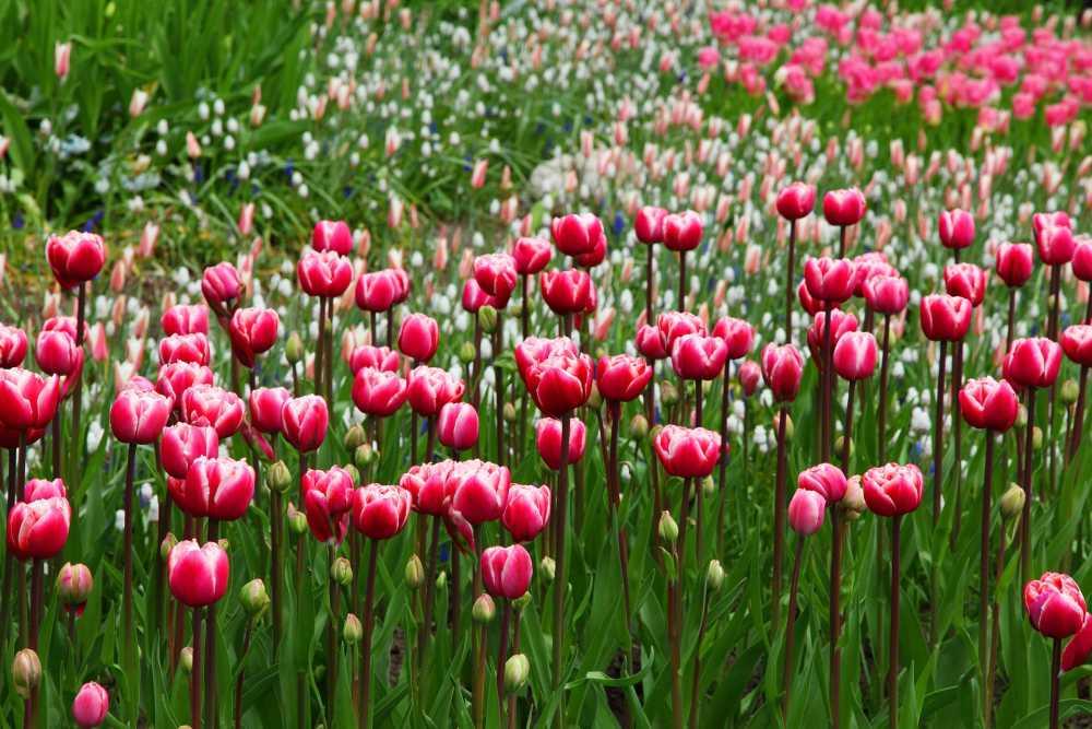 Tulpen, pixabay, PublicDomainPictures