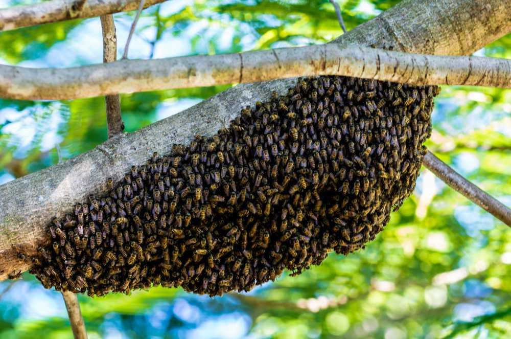 Bienenschwarm, pixabay_Josch13