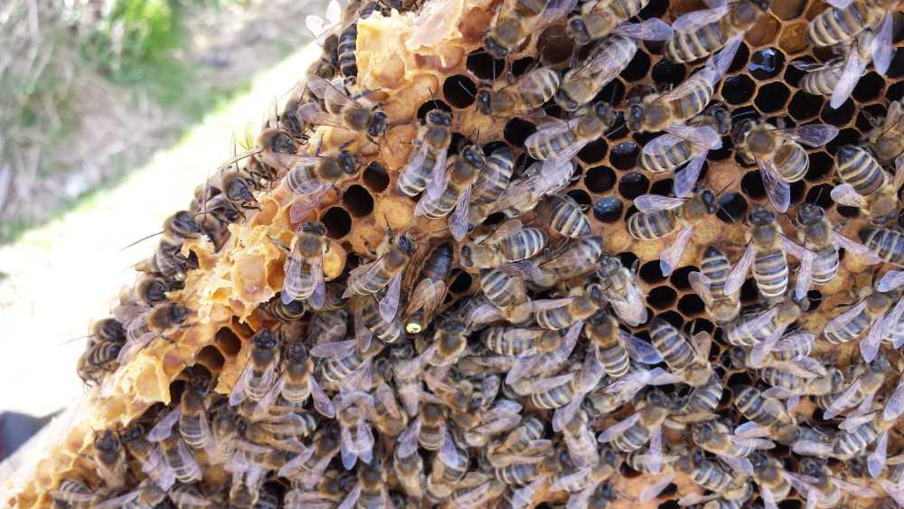 Bienenvolk mit Königin, Elisabeth Pfeifhofer
