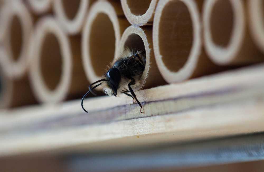 Biene schlüpft , pixabay_Bananebrei