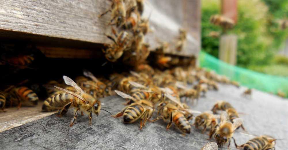 Bienen vor Bienenstock, pixabay_Tetzemann