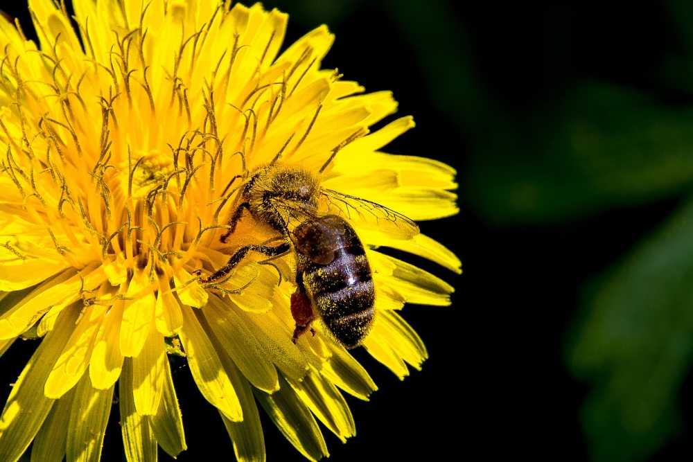 Biene bestäubt Blume, pixabay_efPercy05
