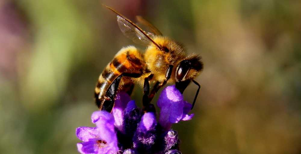 Biene bestäubt Lavendel, pixabay_chezbeate