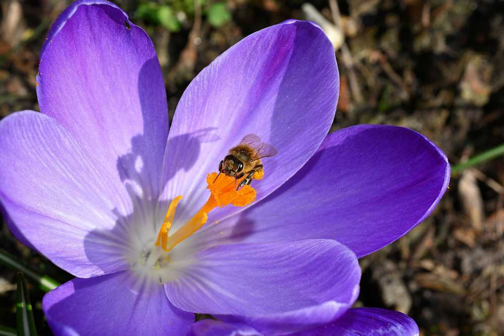 Biene bestäubt blauen Krokus, pixabay_Kapa65