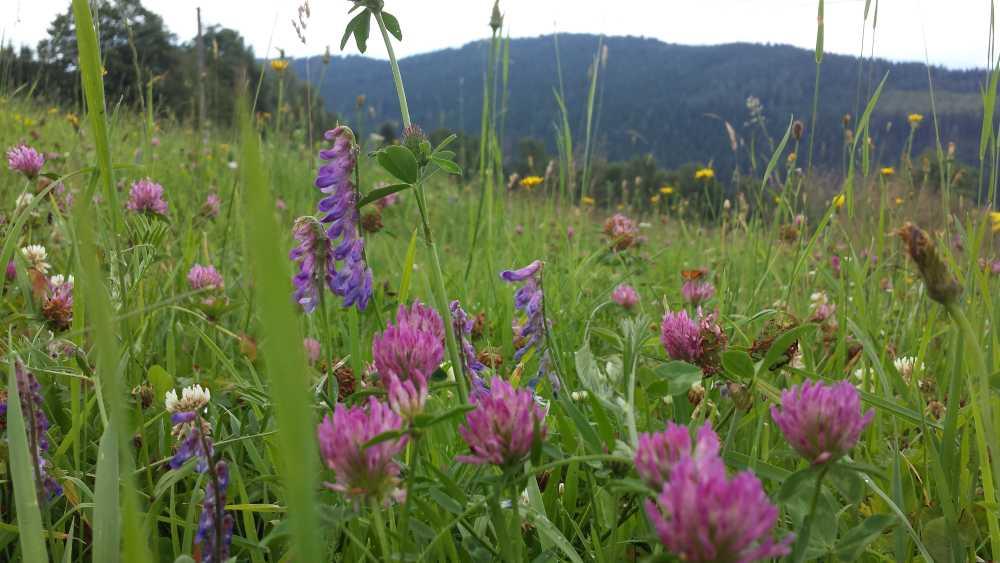 Blumenwiese, © Elisabeth Pfeifhofer