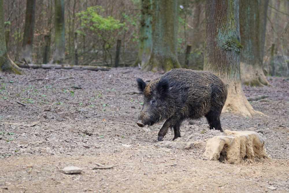 Wildschwein, Pixabay_webandi