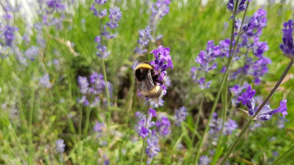 Hummel auf Lavendel, © Elisabeth Pfeifhofer