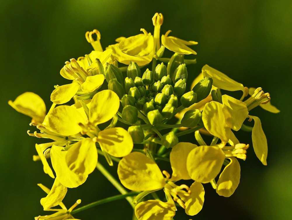 Senfblüte, © Pixabay, hpgruesen